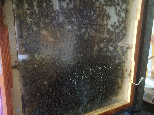 Blick in eine Bienenstock. Aufgrund des Regens und der Kälte verhalten sich alle ziemlich ruhig.