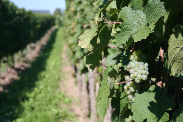 Weinanbau neben unserem Campingplatz in Trittenheim
