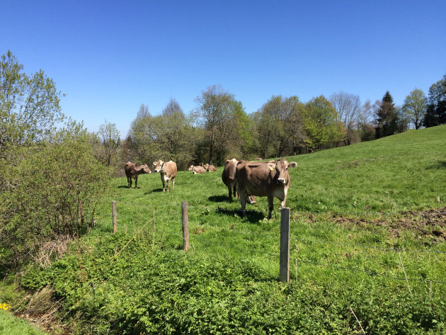 Idylle pur: Allgäuer Kühe auf Allgäuer Weide