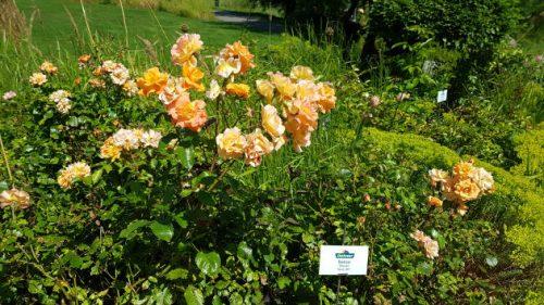 Rosen im Blumenpark von Dehner