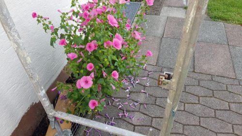 Die Handwerker bauten das Gerüst um meine Blumen herum