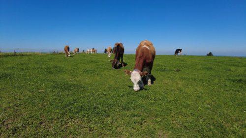 Grasende Kühe am Wegesrand.